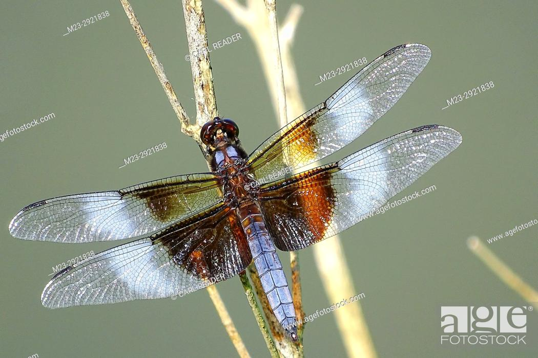 Stock Photo: A dragonfly takes it easy on a summer day, Pennsylvania, USA.