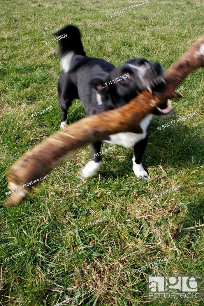 Stock Photo: border collie playing with tree branch on field in Worksop, Notts, England.