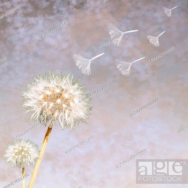 Stock Photo: Dandelion Taraxacum officinale seedheads blowing in wind.