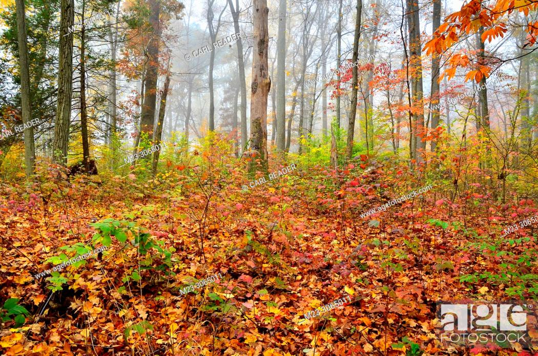 Stock Photo: The mist and fallen leaves of autumn, Pennsylvania, USA.