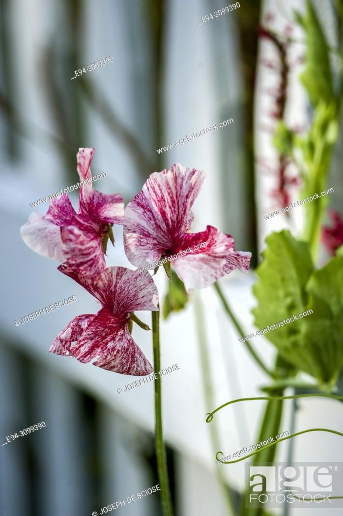 Stock Photo: A close-up of a sweet pea flower in front of a white picket fence in a garden.