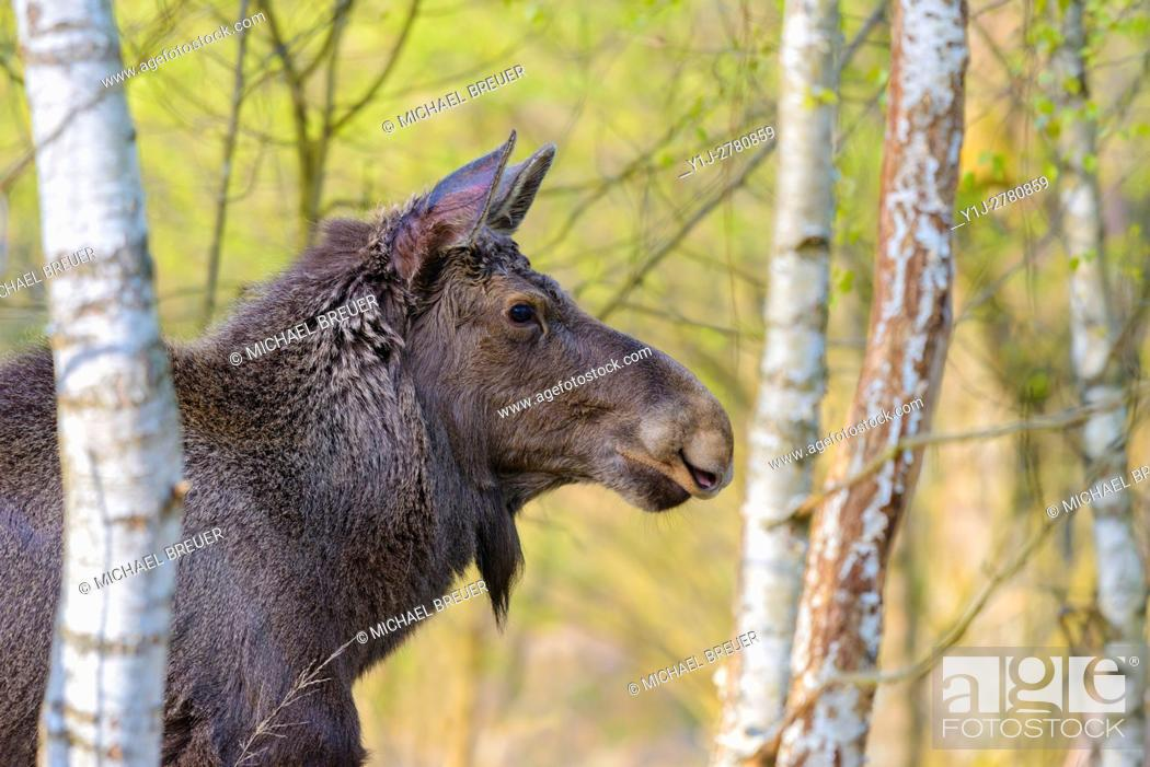 Stock Photo: European Moose, Alces alces, Germany, Europe.