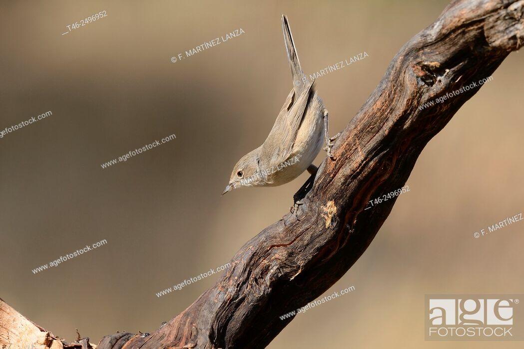 Stock Photo: Whitethroat Sylvia communis. Photographed in an oak grove of Fresnedilla de la Oliva Madrid.