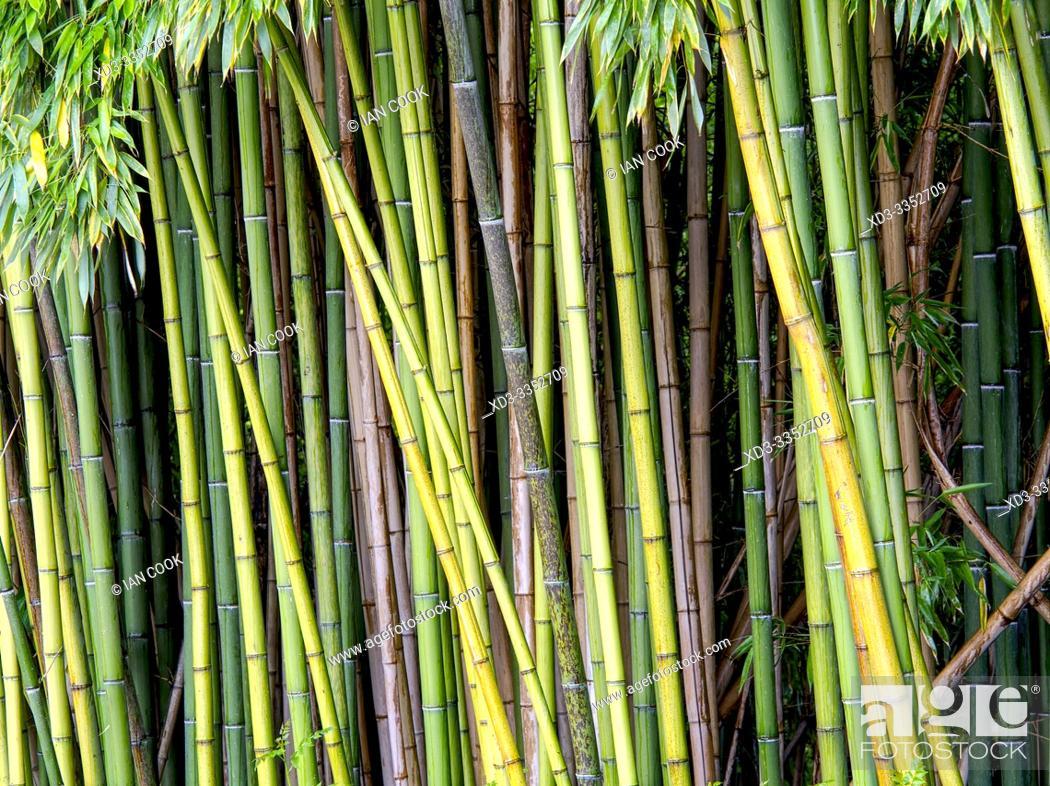 Stock Photo: bamboo plantation, Latour-Marliac Garden, Le Temple sur Lot, Lot-et-Garonne Department, Nouvelle Aquitaine, France.