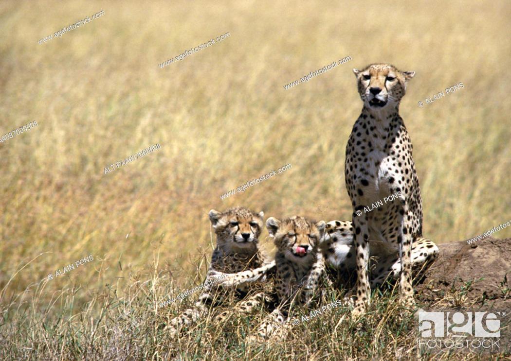 Stock Photo: Africa, Tanzania, cheetahs in Savannah.