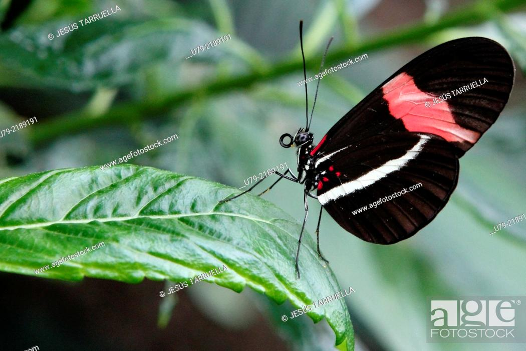 Stock Photo: Heliconius erato; Mariposas de América.
