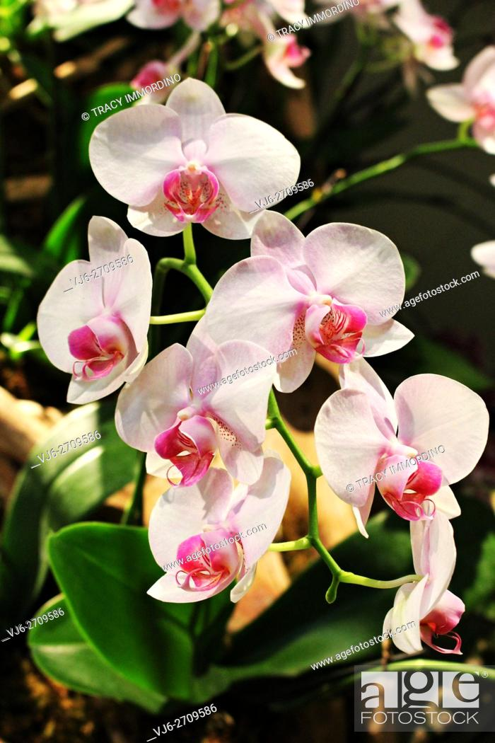 Stock Photo: Close up of a ligh pink Phalaenopsis Orchid in full bloom.