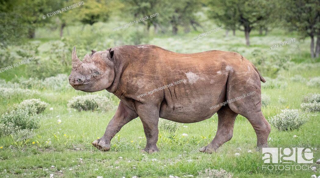 Imagen: Black rhinoceros walking through the grasslands of Etosha National Park, located in Namibia, Africa.
