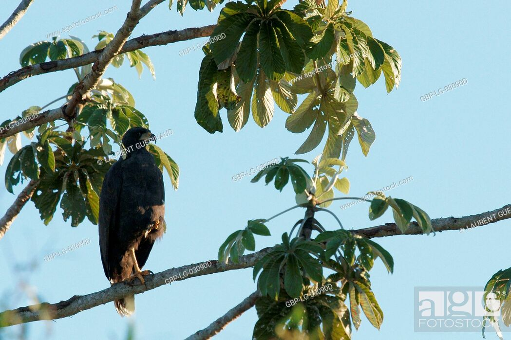 Photo de stock: Bird of prey, Hawk-black, Pantanal, Mato Grosso do Sul, Brazil.