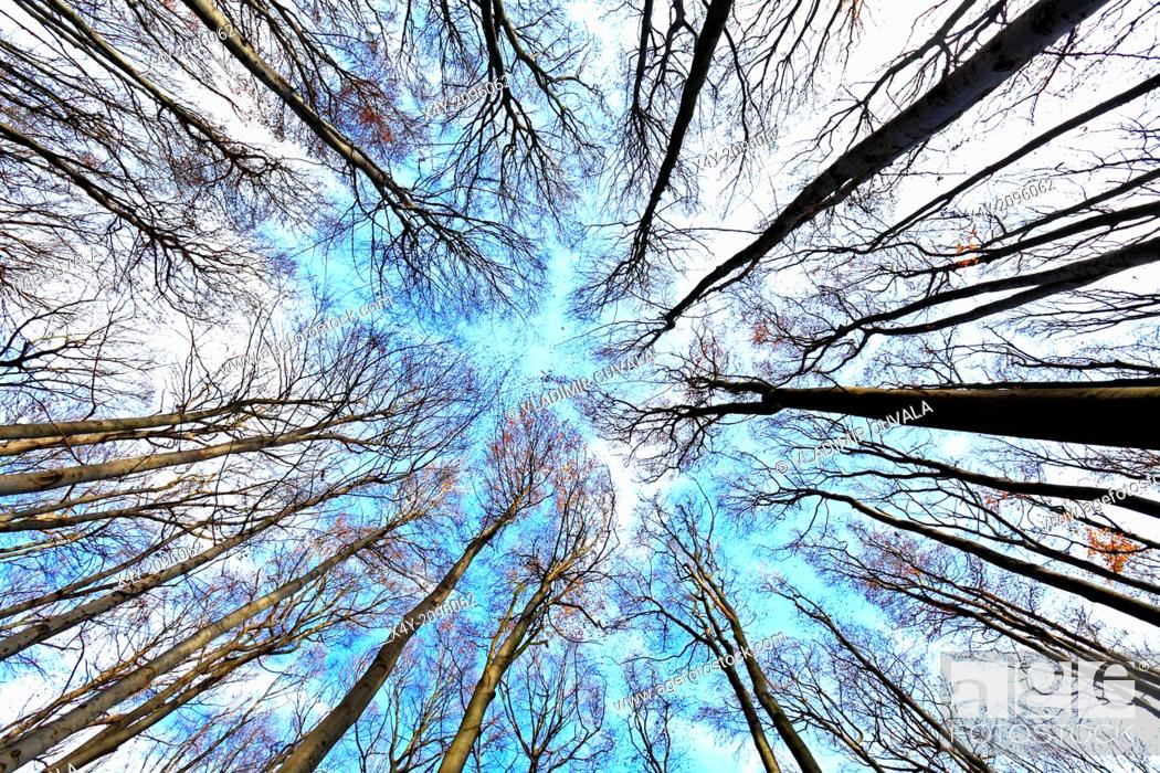 Stock Photo: Treetops without foliage in the beech forest on the slopes of mountain Zaruby, Male Karpaty, Slovakia.