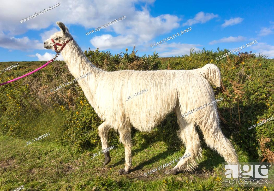 Stock Photo: Suri- alpaca (Vicugna pacos) with holter being led, Dartmoor UK. October 2019.