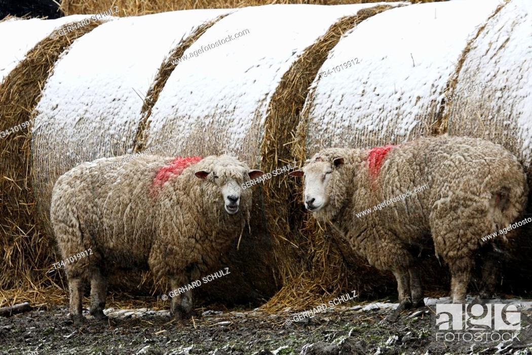 Stock Photo: Schafe im Schnee  Hausschafe , Ovis aries, Schleswig-Holstein  Deutschland , Sheaps in snow  Domestic Cheaps , Ovis aries, Schleswig-Holstein  Germany.