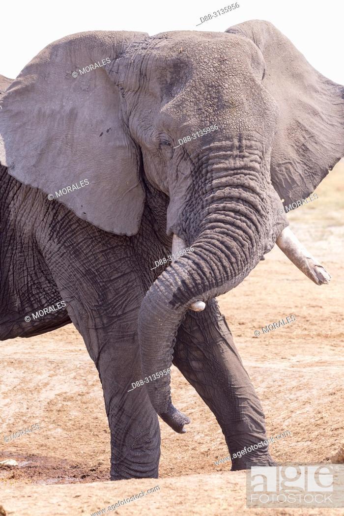 Stock Photo: Africa, Southern Africa, Bostwana, Savuti National Park, African bush elephant or African savanna elephant (Loxodonta africana), near the water hole.