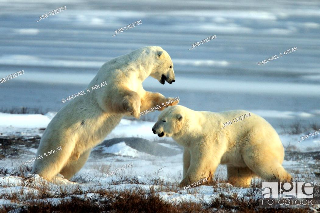 Stock Photo: Two adult male Polar Bears Ursus maritimus engaged in ritualistic fighting serious injuries are rare near Churchill, Manitoba, Canada.