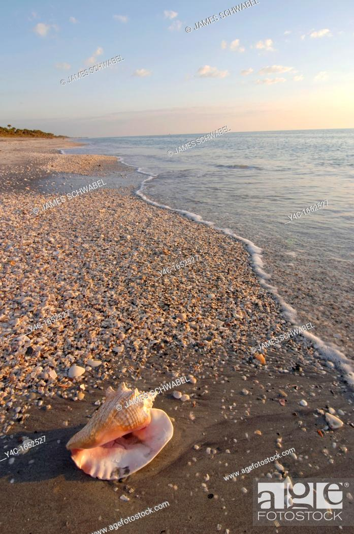 Stock Photo: SHELL ON CASPERSEN PARK BEACH, GULF OF MEXICO, VENICE, FLORIDA.