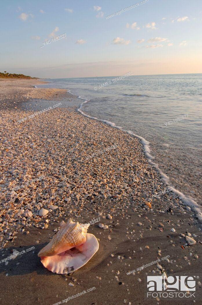 Stock Photo: SHELL ON CASPERSEN PARK BEACH, GULF OF MEXICO, VENICE, FLORIDA.