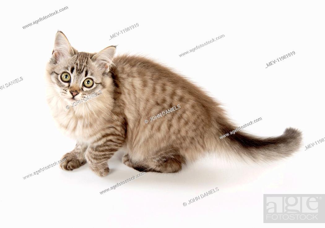 Stock Photo: CAT. Tiffanie, Chocolate Macerel Tabby.