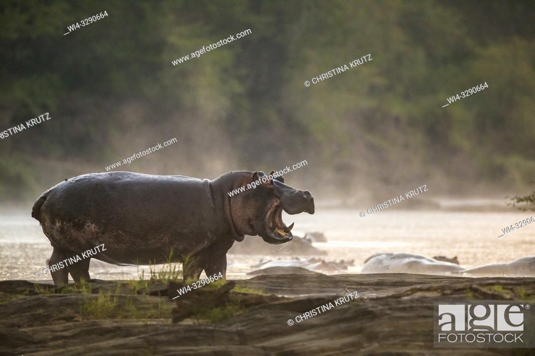 Imagen: Hippopotamus (Hippopotamus amphibus) standing on the edge of the Olare Orok River, Maasai Mara National Reserve, Kenya, Africa.