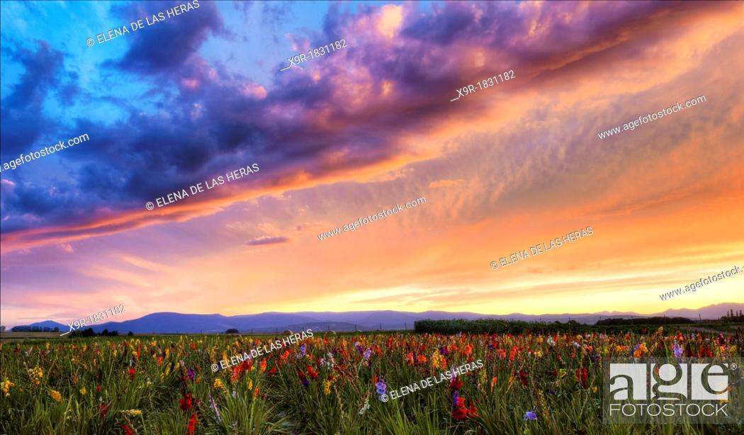 Stock Photo: Gladiolus field near Strasbourg, Alsace, Haut-Rhin, France.
