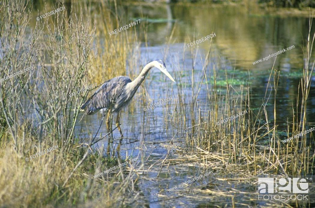 Stock Photo: Heron in swamp.