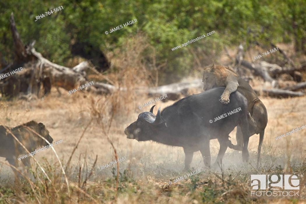 Stock Photo: Two male lion (Panthera leo) attacking a Cape Buffalo (African Buffalo) (Syncerus caffer), Ruaha National Park, Tanzania, East Africa, Africa.