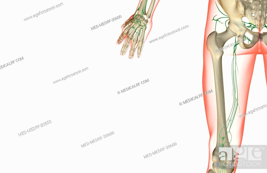Stock Photo: The lymph supply of the thigh.