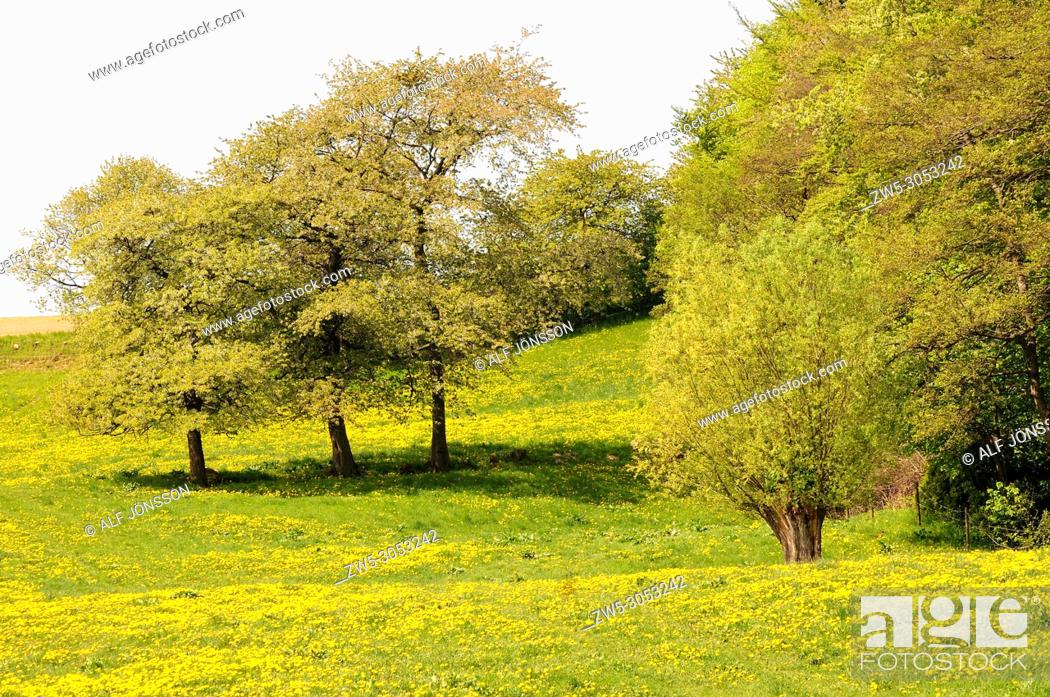 Photo de stock: Meadow with Dandelion flowers on Stenberget, Skurup, Scania, Sweden.