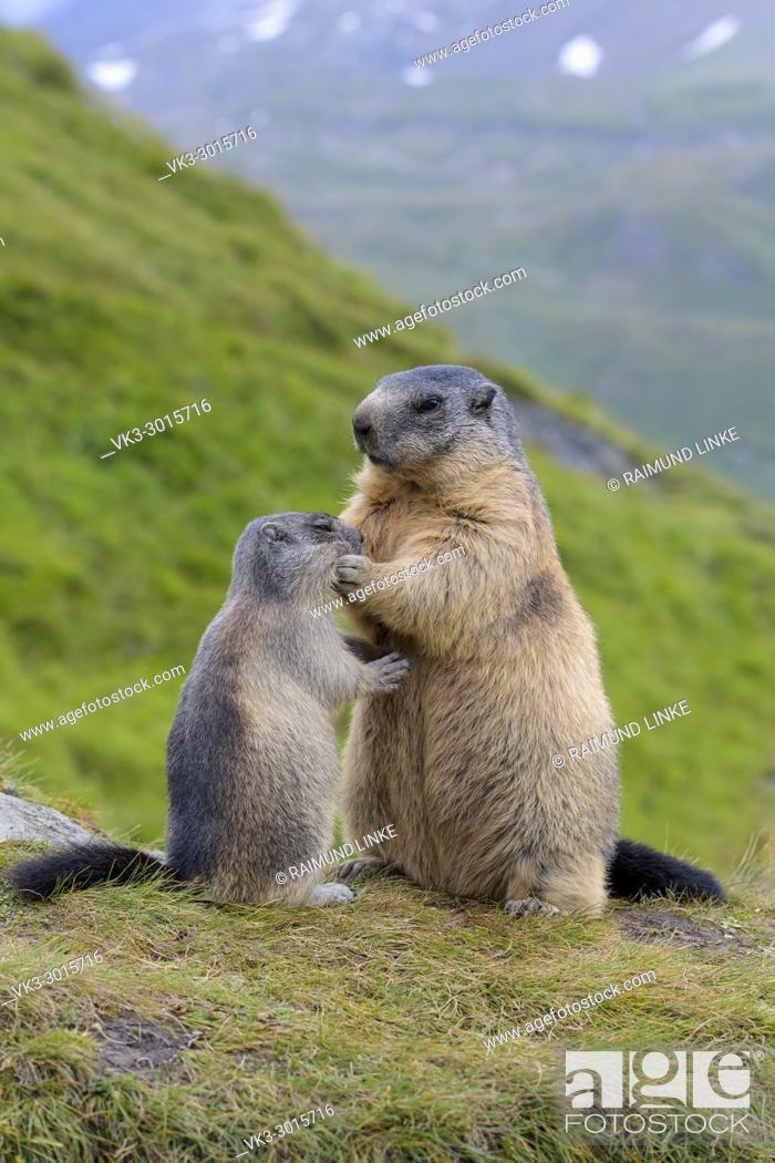 Stock Photo: Alpine Marmot, Marmota marmota, mother with young, Hohe Tauern National park, Austria.