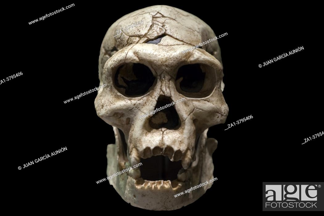 Stock Photo: Adolescent male cranuim of manisi hominins or Dmanisi man. Replica. National Archeological Museum, Madrid.