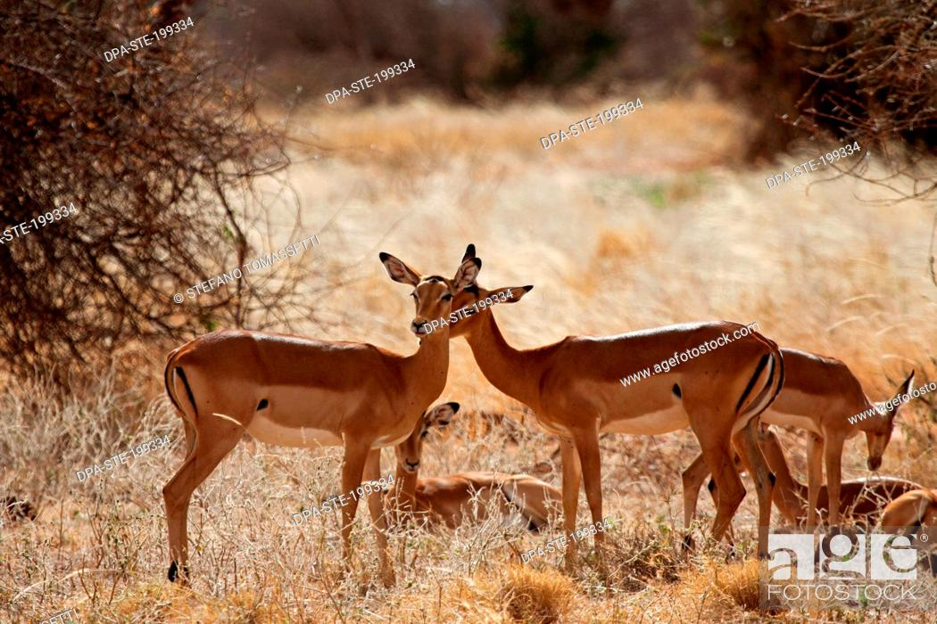 Imagen: Impala, masai mara national park, kenya, africa.