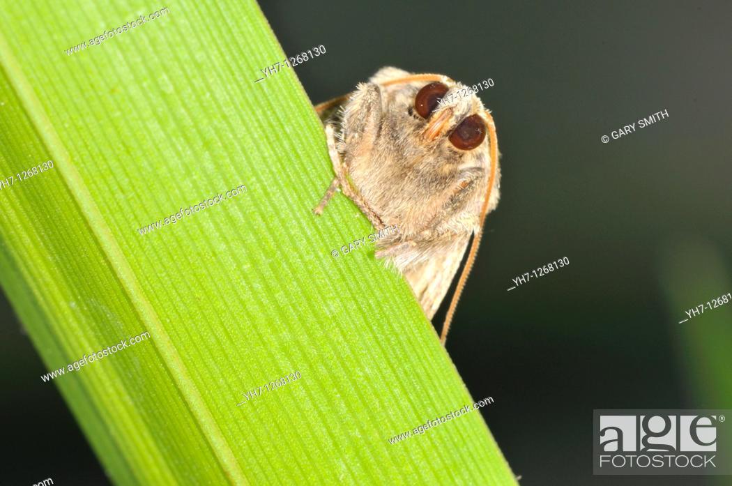 Stock Photo: Moth on reed stem, Norfolk, UK, June.
