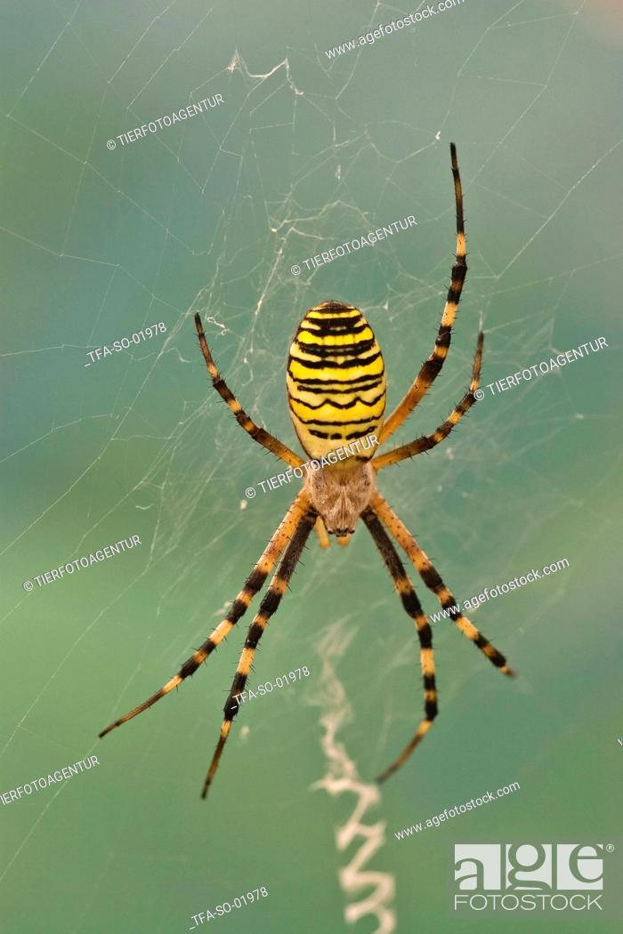 Stock Photo: wasps spider in web.