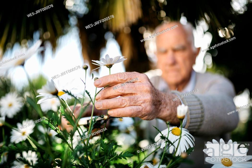 Stock Photo: Senior man's hand picking flower in the garden.