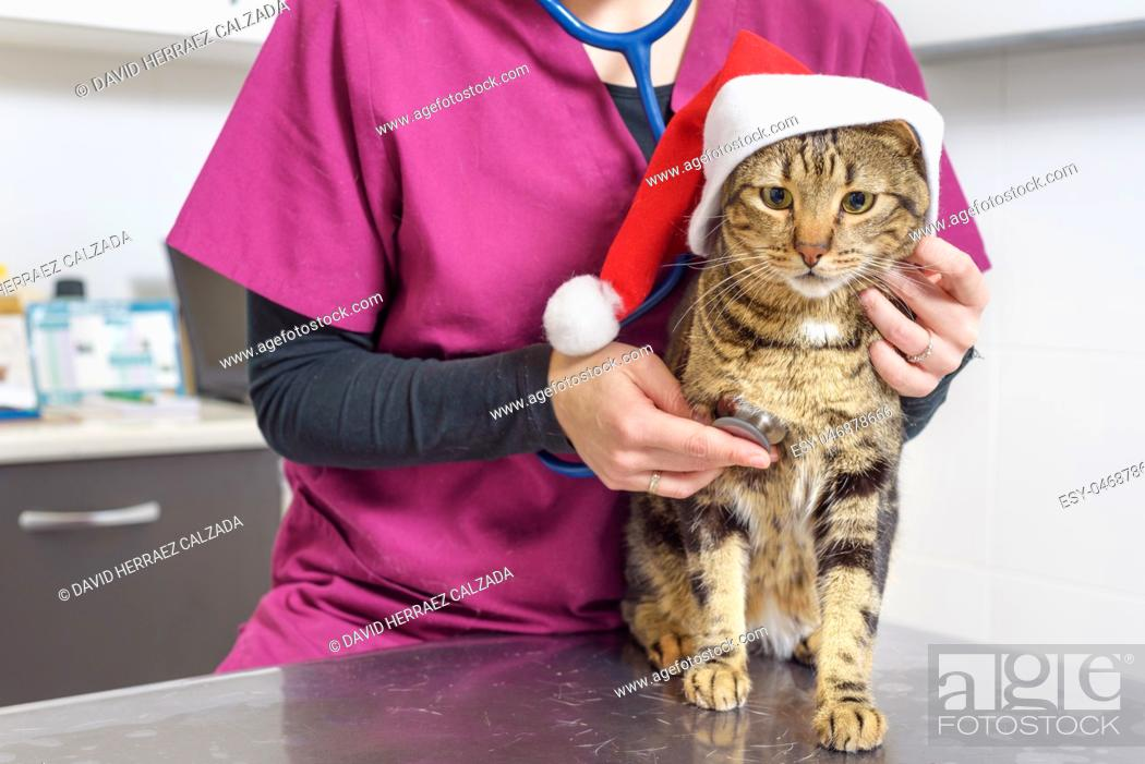 Stock Photo: Veterinarian doctor examining a cute cat with santa claus hat.