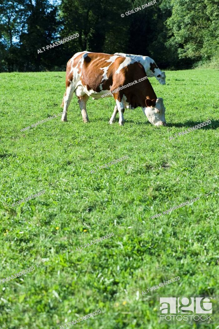 Stock Photo: Cows grazing in field.