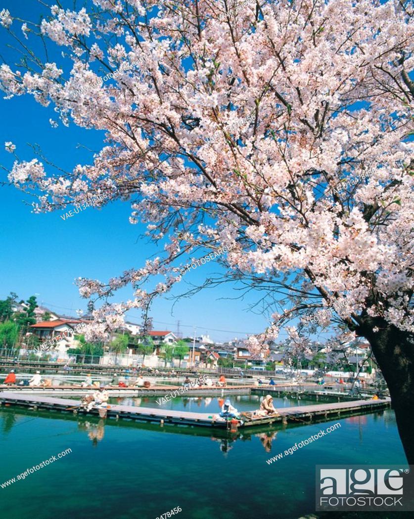 Stock Photo: lake, landscape, tree, cherryblossom, spring, natural world, nature.