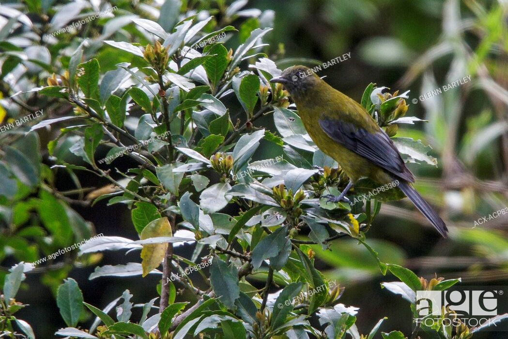 Imagen: Gray-winged Cotinga (Tijuca condita) perched on a branch in the Atlantic rainforest of southeast Brazil.