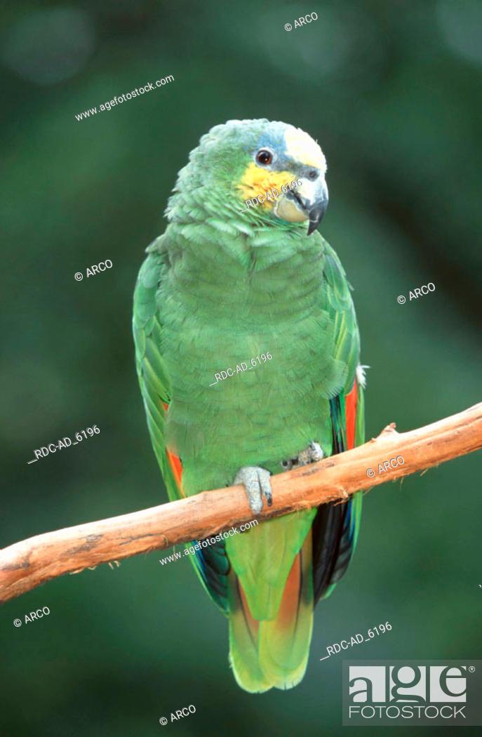 Stock Photo: Orange-winged Amazon Amazona amazonica.