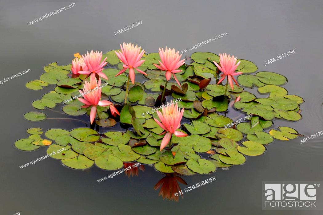 Stock Photo: Water lilies flowers and leaves, Nymphaea.