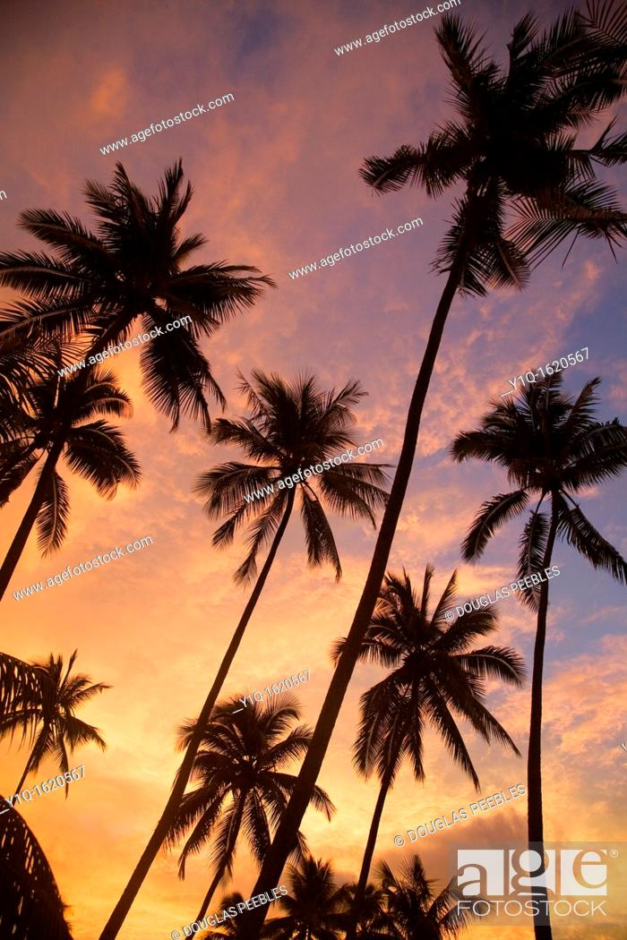 Stock Photo: Sunset with palm trees, Moorea, French Polynesia.