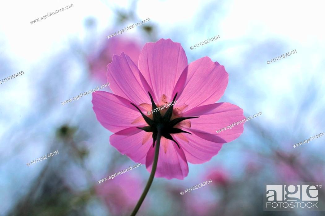Stock Photo: autumn, plant, season, cosmos, flower, fall, nature.