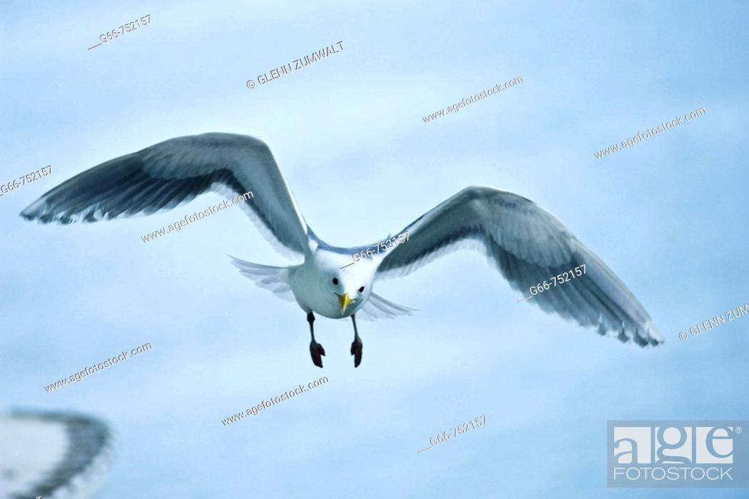 Stock Photo: Glaucous-winged Gull (Larus glacescens).