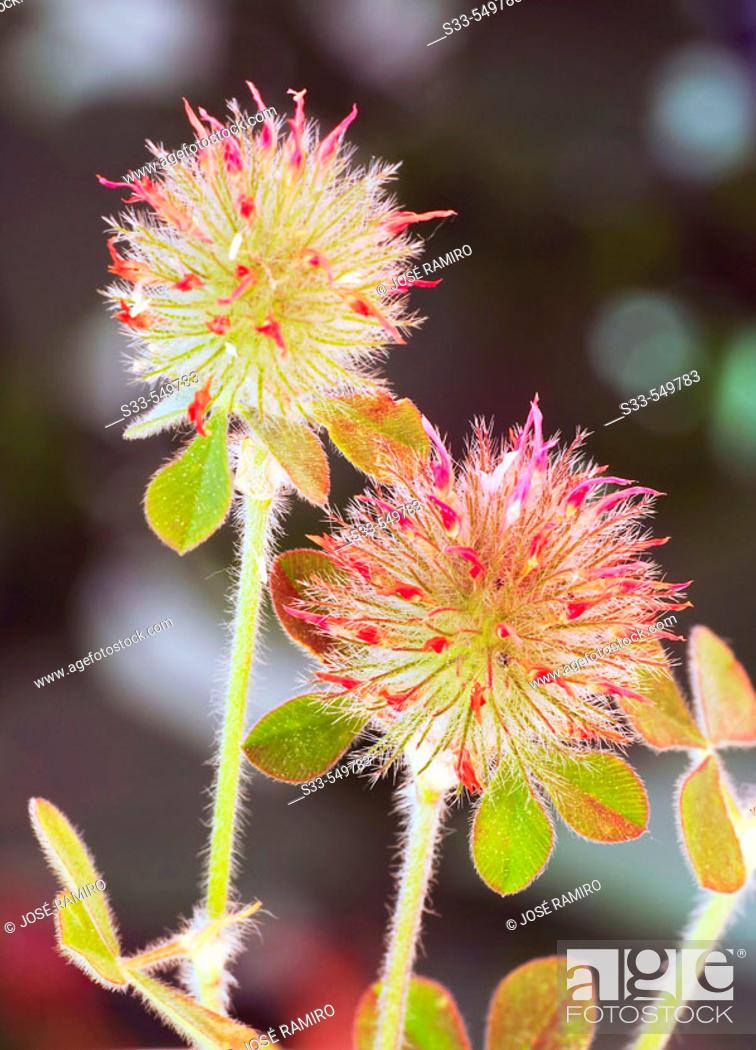 Stock Photo: Wild flowers (Trifolium stellatum).