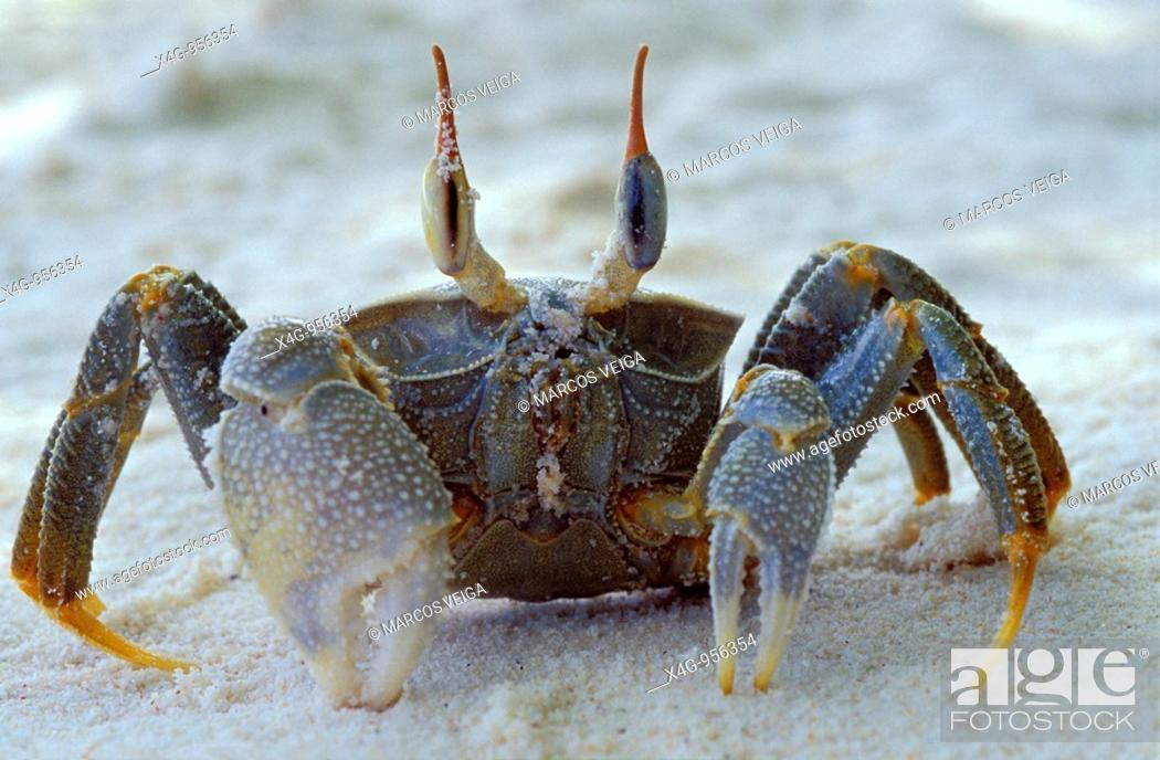 Stock Photo: Cangrejo fantasma  Ghost crab  Ocypode ceratophthalma  Petit Anse, Mahe, Seychelles.