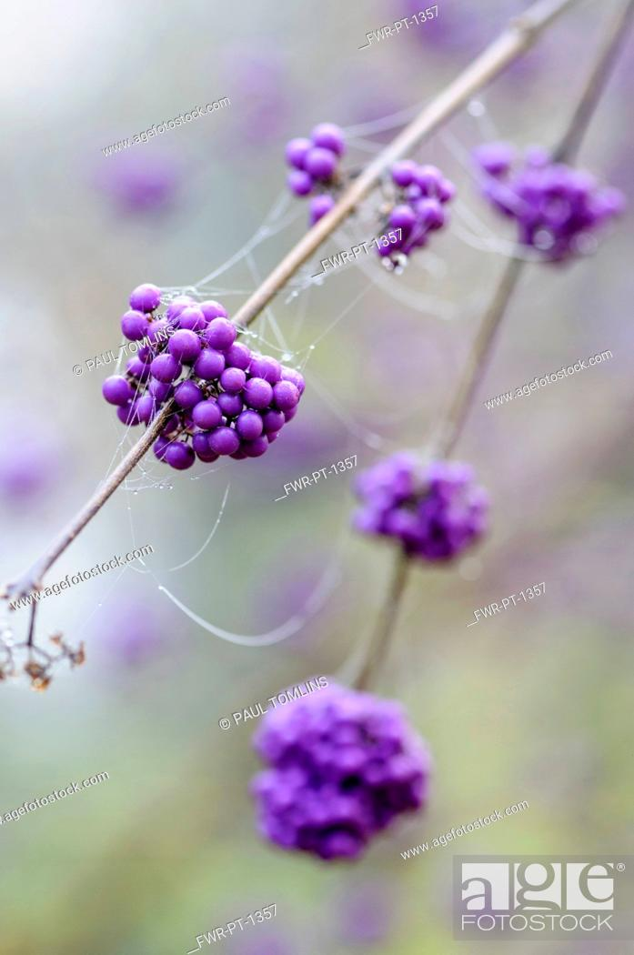 Imagen: Beauty berry, Callicarpa bodinieri var. garaldii 'Profusion', Twigs bearing bunches of mauve berries covered in dew covered strands of spider webs.