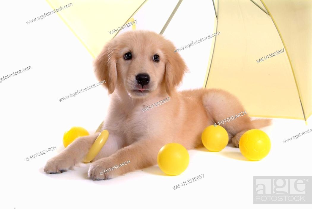 Stock Photo: domestic animal, golden retriever, ball, umbrella, retriever, looking away, petdog.