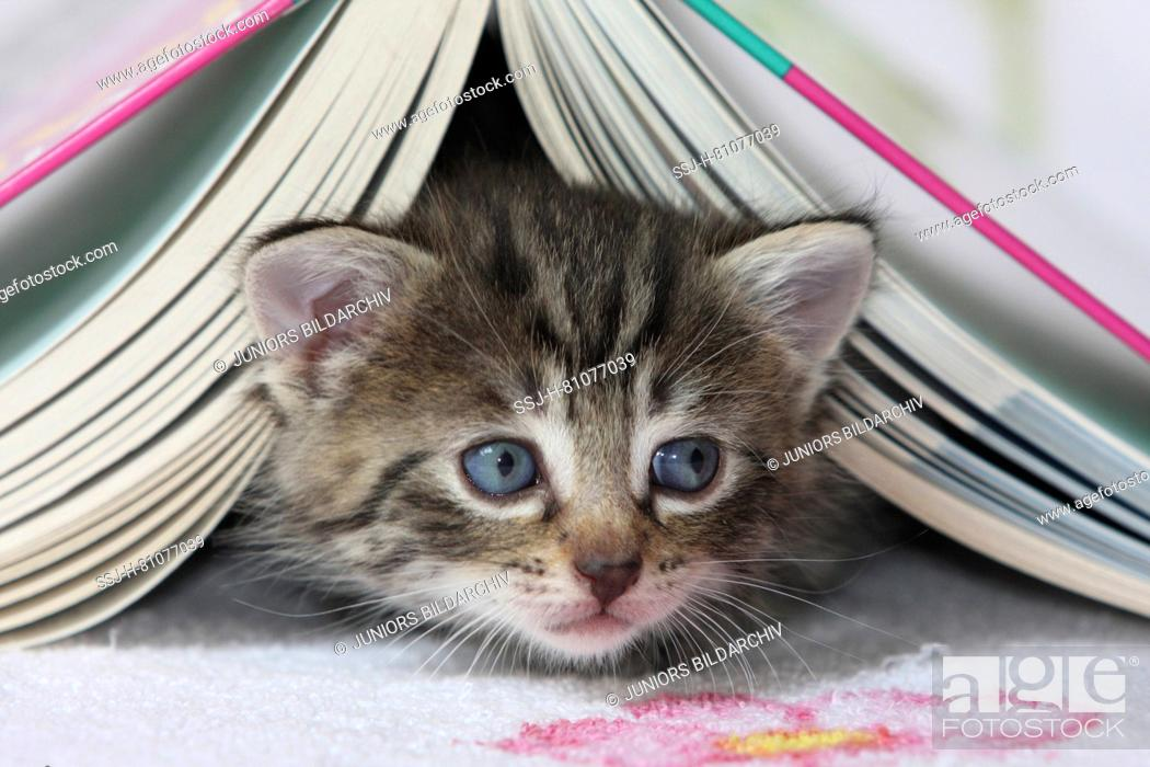 Stock Photo: Domestic cat. Kitten under a book. Germany.