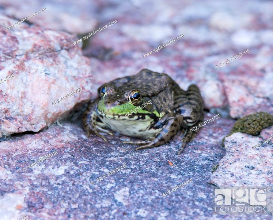 Stock Photo: Mink frog, Rana septentrionalis.