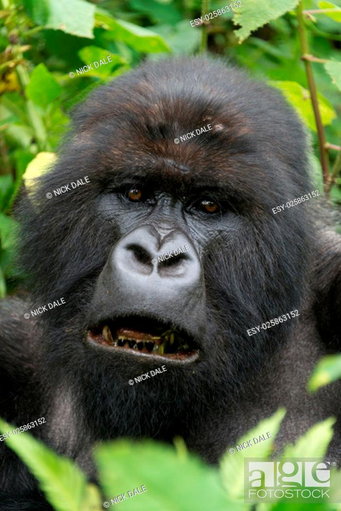 Stock Photo: A male silverback gorilla looks straight at the camera with his mouth open, showing his blackened teeth. His head is surrounded by leaves and branches in the.