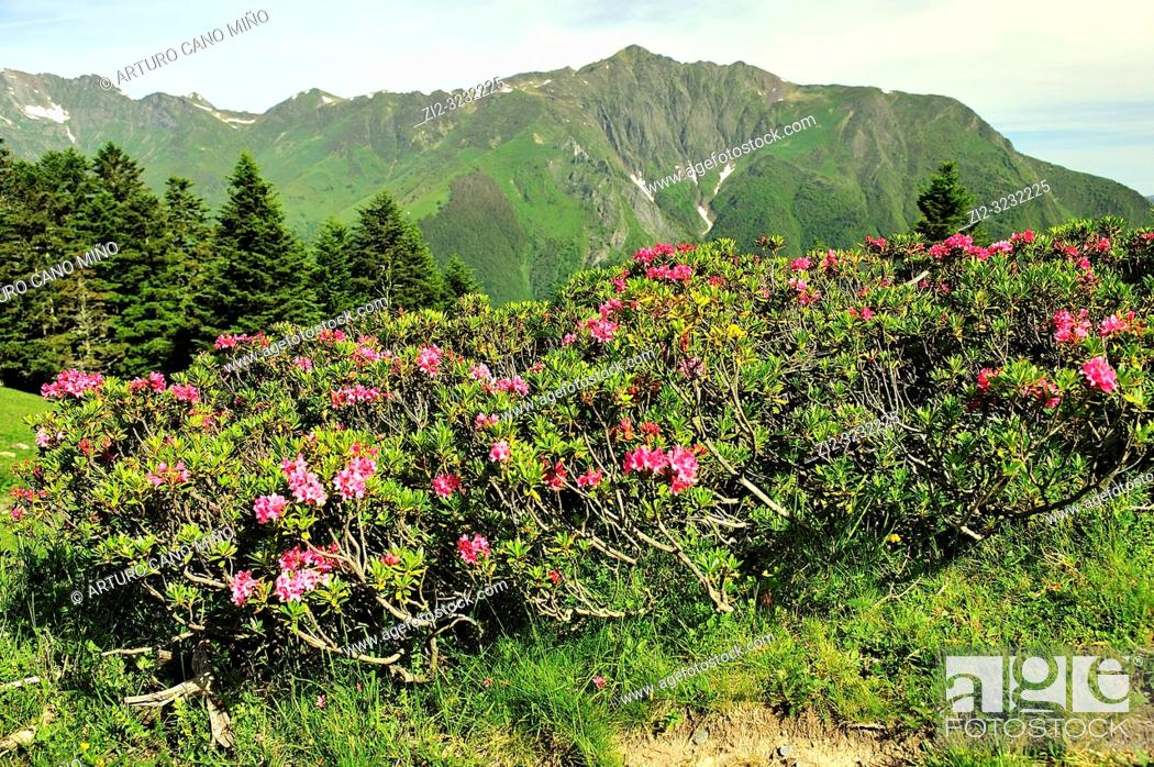 Stock Photo: Rhododendron in bloom on the Pyrenees mountains. Cauterets town, Hautes-Pyrénées department , Occitanie region, France.